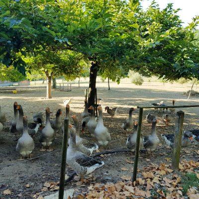 Perigourmet circuit gastronomique tourisme visite élevage canard oie foie gras Périgord Noir Dordogne Sarlat